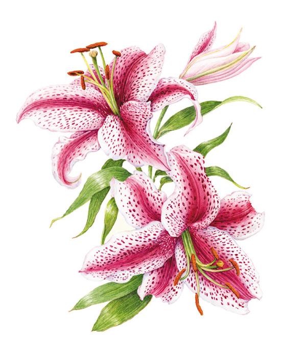 Lilium orientalis-Marion Perkins-SBA member