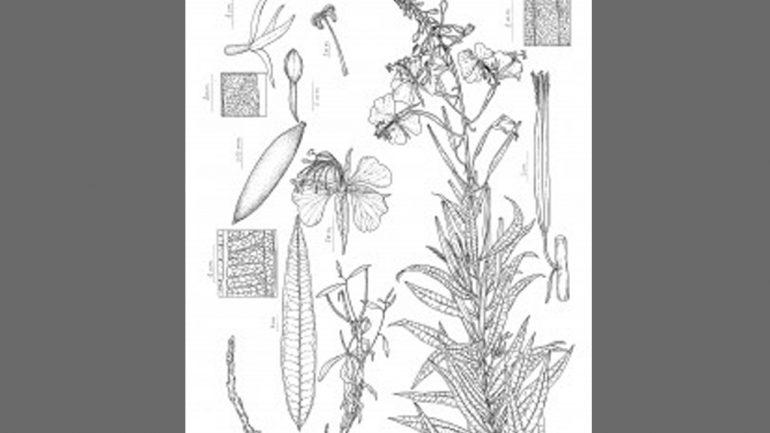 Ilustración Botánica Científica