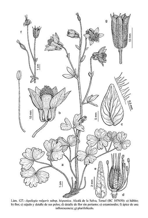 01_L127_Aquilegia_vulgaris_hispanica