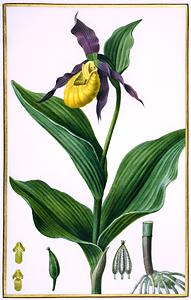 Cypripedium, Orchidaceae, watercolor on vellum by Pancrace Bessa (1772-1835) HI Art accession no. 0057.
