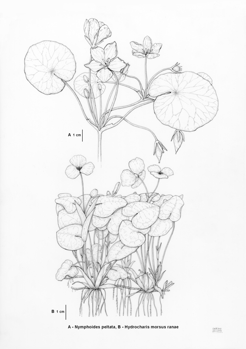 Nymphoides, Hydrocharis