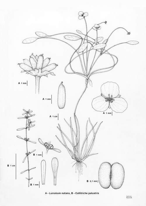 Luronium, Callitriche