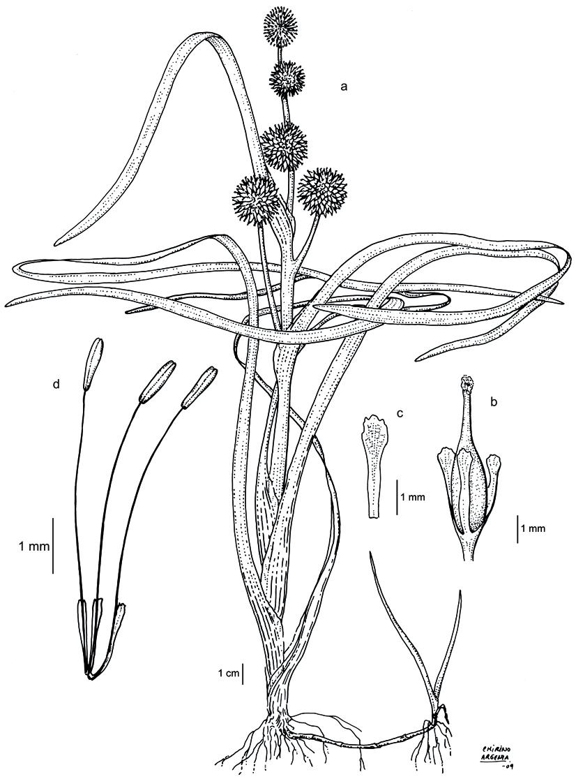 Sparganium angustifolium, dibujo de Marta Chirino Argenta