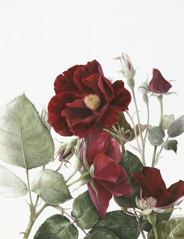 Elaine Searle. Rosa 'Dusky Maiden' Print Size A4. Edition of 25