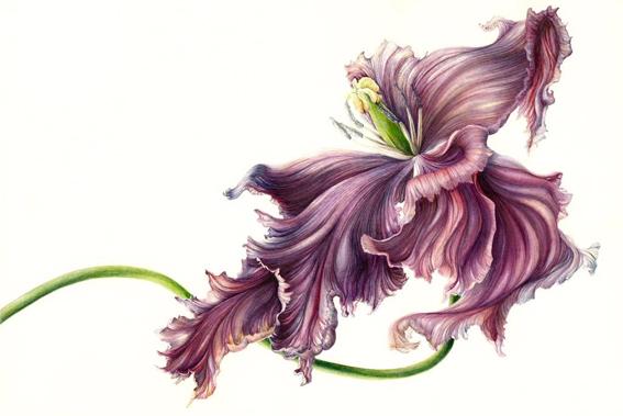 Acuarela de Mary Dillon. Tulipa black parrot