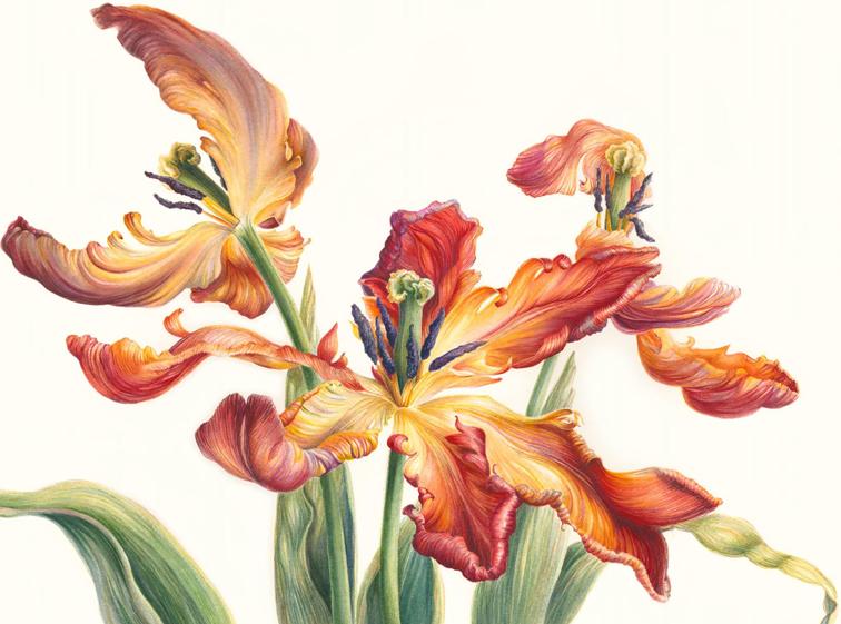 Acuarela de Mary Dillon. Tulipa rococo.
