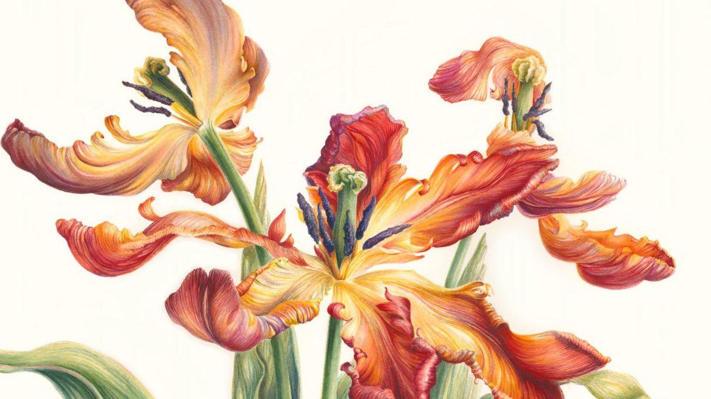 Mary Dillon, Tulip parrot